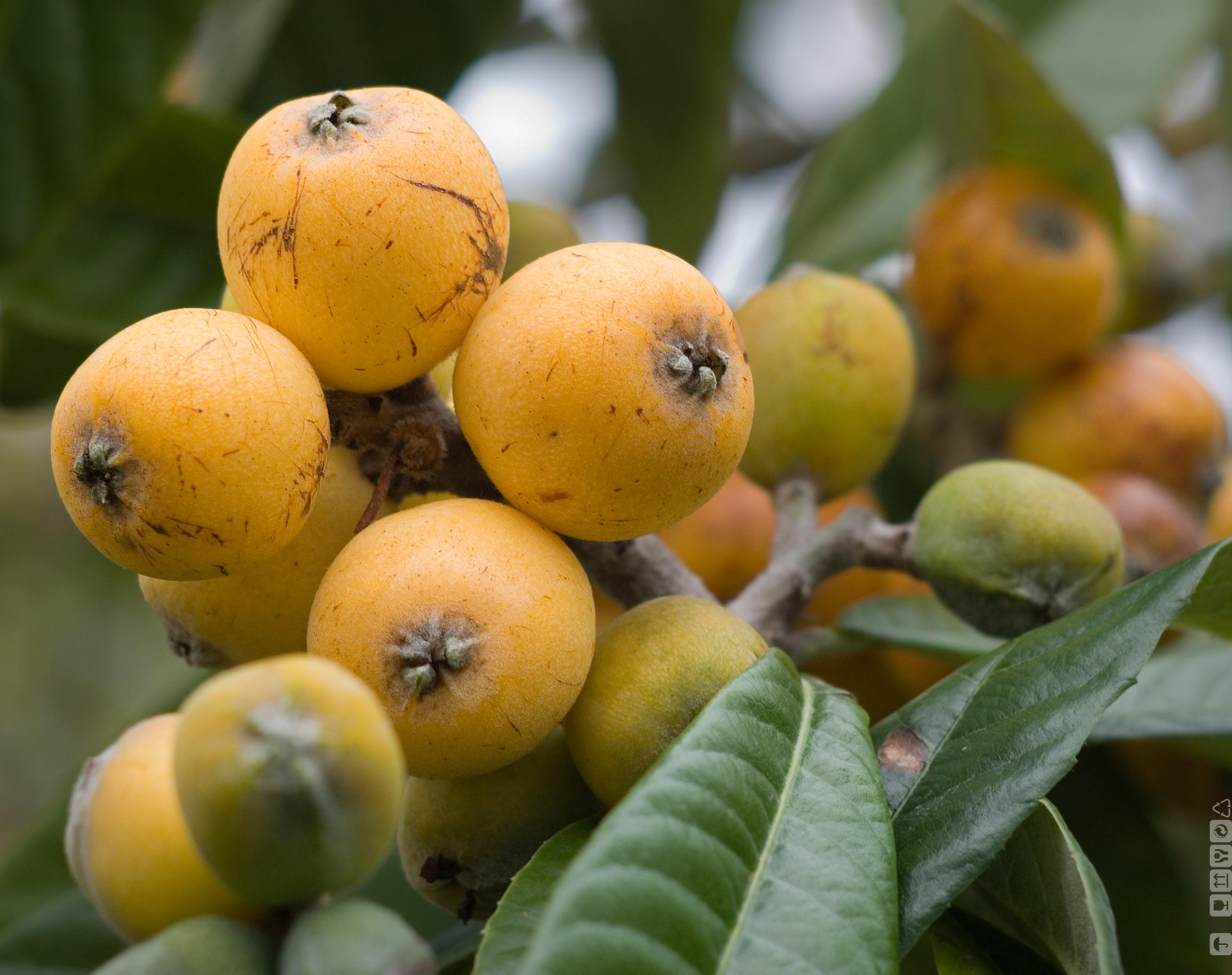 Maltese plum - Japanese medlar- Loquat - 枇杷 - níspero