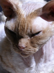 tonkinese(0.0), burmese(0.0), whiskers(0.0), nose(1.0), animal(1.0), small to medium-sized cats(1.0), snout(1.0), close-up(1.0), cat(1.0), carnivoran(1.0), devon rex(1.0),