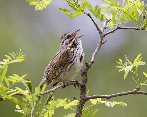 kh0831 slbsinging avianexcellence drcanal flora xplr 288 bird tree nj