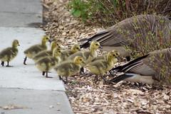 Gosling Crossing