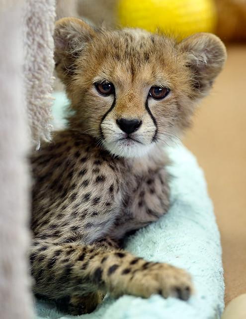 Cheetah Cub_F9P5581