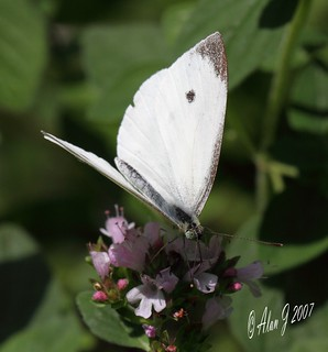 Spring Cabbage White