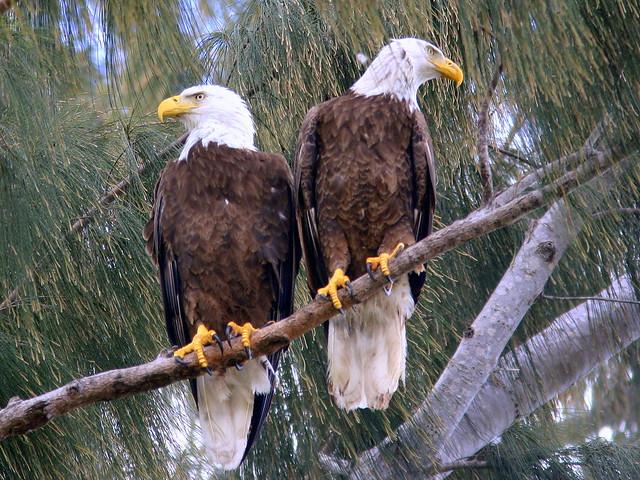 Eagle Pair 20090226