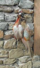 turkey(0.0), wild turkey(0.0), animal(1.0), pheasant(1.0), fauna(1.0), bird(1.0), galliformes(1.0), wildlife(1.0),