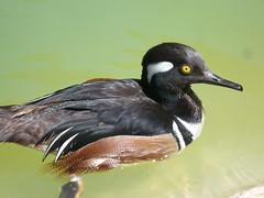 Un-named duck