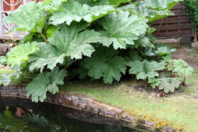 Gunnera And Garden Pond Edging Flickr Photo Sharing