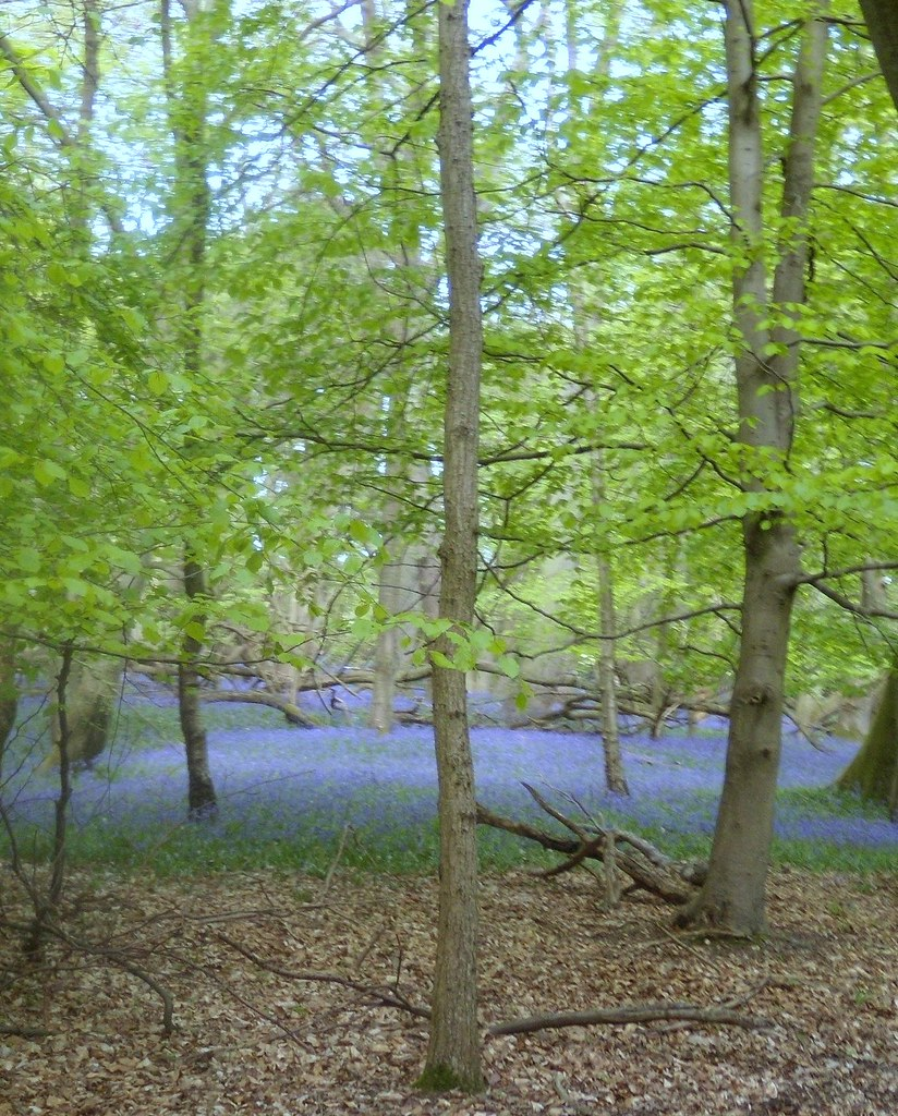 Bluebell wood 6 Tring to Berkhamsted