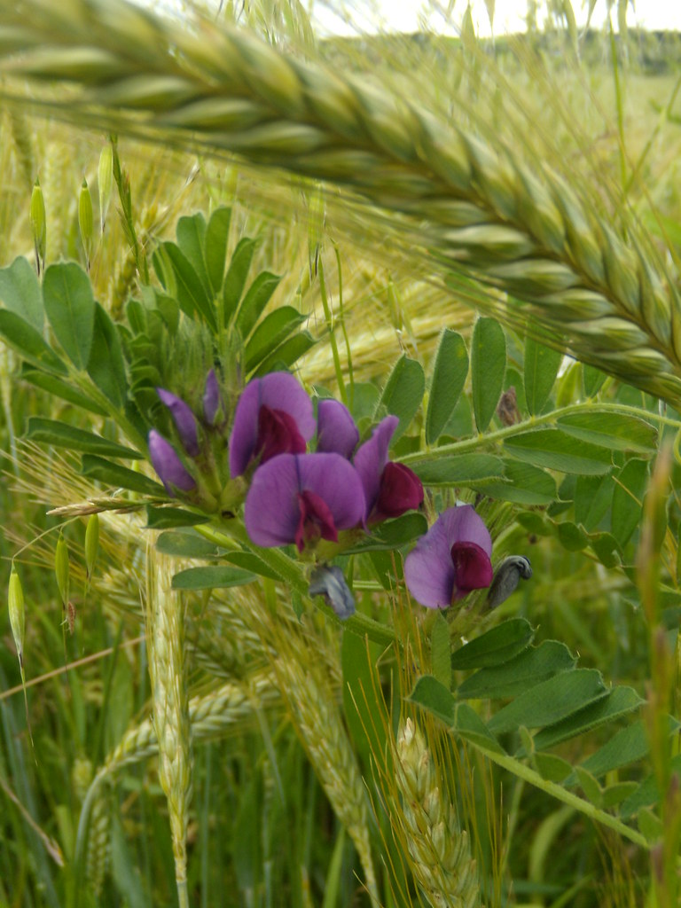 A vetch Rye to Hastings