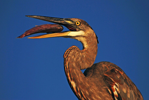 morning sky food fish bird heron nature animal closeup outside outdoors colorful looking natural feeding eating wildlife watching feathers baitshop staring juvenile focused bait greatblueheron avian plumage gbh wadingbird pinfish freshwaterbird michaelskelton michaeldskelton michaeldskeltonphotography