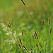 cattail grass - Photo (c) Hermann Falkner, some rights reserved (CC BY-NC)