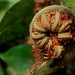 Cyathea fulva crozier por Polylepis