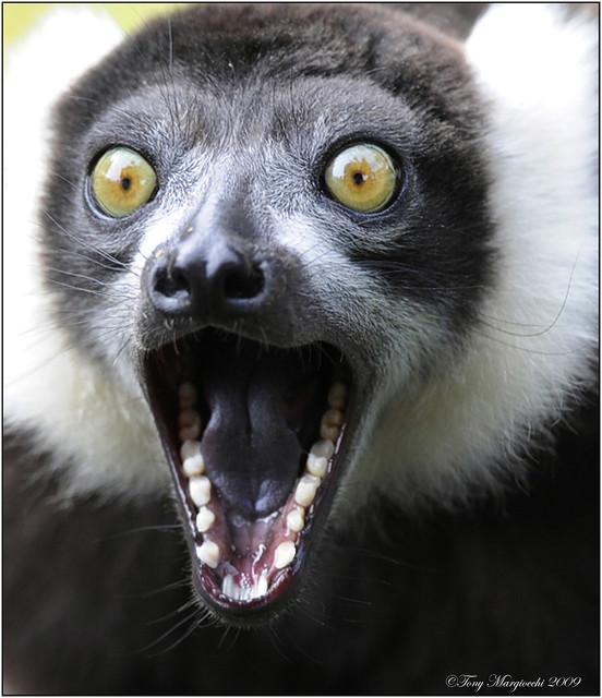 Ruffed Lemur | Flickr - Photo Sharing!