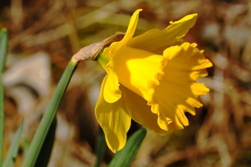 Daffodil 34127