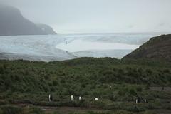 Glacier, Tussock Grass, and King Penguins