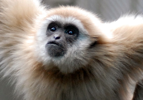 White Handed or Lar Gibbon