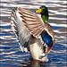 ~ Duck Dance ~ by ViaMoi
