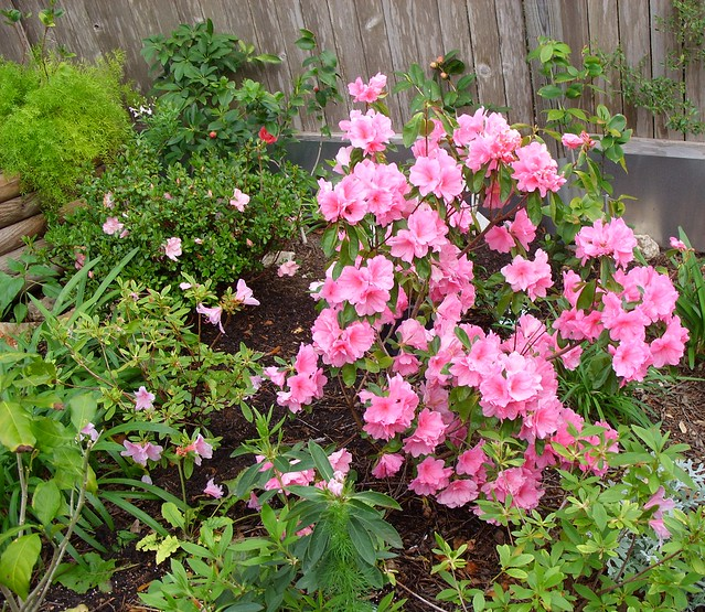 pink ruffles in full bloom small azalea at upper left is. Black Bedroom Furniture Sets. Home Design Ideas