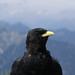 Small photo of Alpine Chough (Pyrrhocorax graculus)