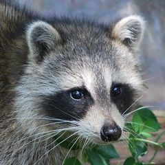 virginia opossum(0.0), animal(1.0), raccoon(1.0), mammal(1.0), fauna(1.0), whiskers(1.0), viverridae(1.0), procyon(1.0), wildlife(1.0),