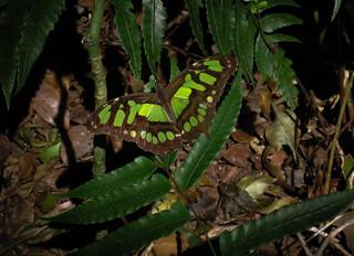 Butterfly - Rincon de la Vieja