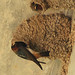 Cliff Swallow - Photo (c) Carol Foil, some rights reserved (CC BY-NC-ND)