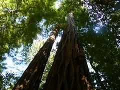 california redwood trees canopy