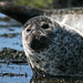 Seal near Dunvegan by davidbell_uk