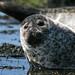 Seal near Dunvegan by davidbell_uk