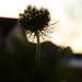 summer weeds