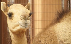 alpaca(0.0), animal(1.0), mane(1.0), mammal(1.0), head(1.0), fauna(1.0), close-up(1.0), camel(1.0), arabian camel(1.0),