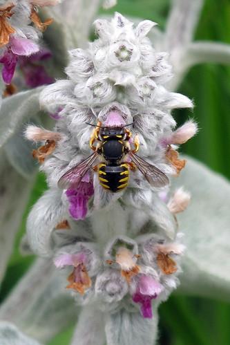 Anthidium manicatum femelle 02