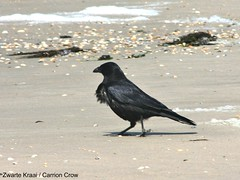 emberizidae(0.0), stock dove(0.0), blackbird(0.0), rook(0.0), animal(1.0), wing(1.0), crow(1.0), fauna(1.0), american crow(1.0), beak(1.0), bird(1.0), wildlife(1.0),