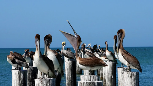 pelicans bbw rick shackleton wiseass naplesflorida awesomeshot ar1 beautifulbirds thenaturegroup thechallengefactory colliercountyflorida floridacoastalwildlife rickshackleton