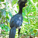 Great Curassow - Photo (c) Jerry Oldenettel, some rights reserved (CC BY-NC-SA)