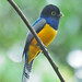 Gartered Trogon - Photo (c) Jerry Oldenettel, some rights reserved (CC BY-NC-SA)