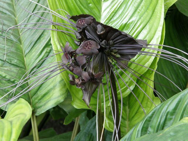 teufelsorchidee schwarze orchidee im balinesischen garten flickr photo sharing. Black Bedroom Furniture Sets. Home Design Ideas
