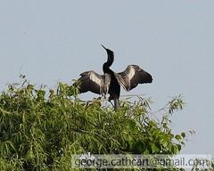 cormorant drying wings f