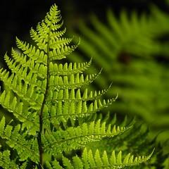 flower(0.0), tree(0.0), spruce(0.0), vascular plant(1.0), fern(1.0), branch(1.0), leaf(1.0), plant(1.0), green(1.0), ostrich fern(1.0), plant stem(1.0),