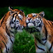 Tiger make-up by Todd Ryburn