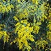 Small photo of Queensland Silver Wattle (Acacia podalyriifolia)