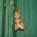 Lucerne Moth - Photo (c) Audrey Hoff, some rights reserved (CC BY-NC-ND)