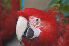 animal, macaw, parrot, red, pet, fauna, beak, bird,