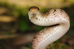 Taiwan Kukri Snake - Photo (c) Skink Chen, some rights reserved (CC BY-NC-ND)