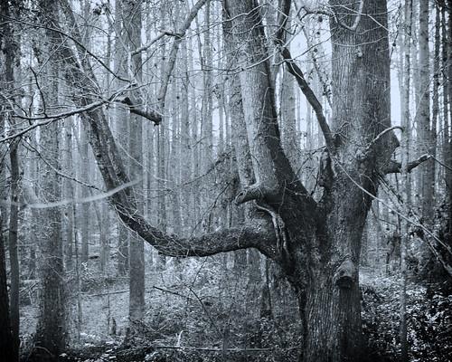 vintage cynotype treeforestlandscape