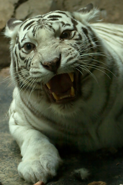 White Tiger Angry