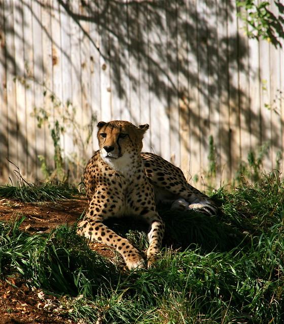 Cheetah Strikes A Pose - Denver Zoo