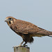 Brown Falcon - Photo (c) Marj Kibby, some rights reserved (CC BY-NC)