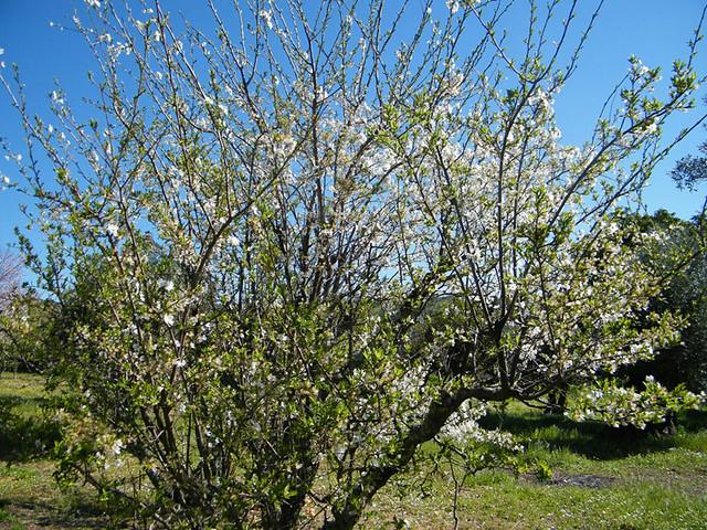 Prunus domestica - ameixoeira - 1