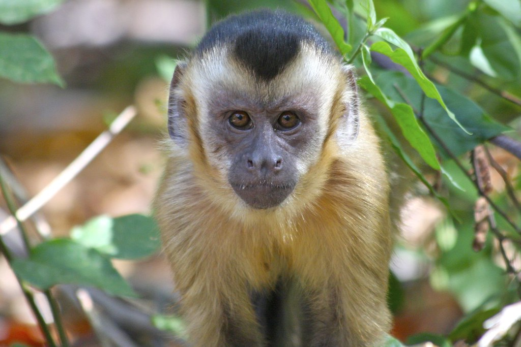 Facts About Capuchin Monkeys Everyone Gets Wrong