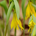 large-flower bellwort - Photo (c) JanetandPhil, some rights reserved (CC BY-NC-ND)